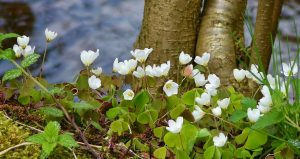 wood anemone 334525 1280 300x159 - *Der Sprung in der Schüssel / Eine wundervolle Geschichte