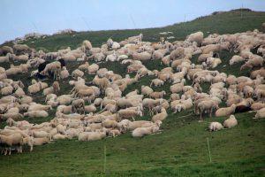 """flock of sheep 2719728 1280 300x200 - *Schlafen? Wird überbewertet? """"Wenn die Schäfchen Ringelreihe tanzen!"""""""