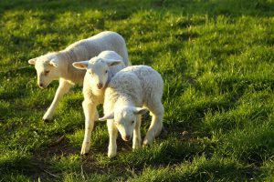 """lambs 4185491 1280 300x200 - *Schlafen? Wird überbewertet? """"Wenn die Schäfchen Ringelreihe tanzen!"""""""